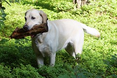 Iva (glaserei) Tags: labrador retriever hund goldie haustier hunde iva labi