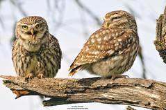 Mochuelo Comn. Athene noctua (Justino Bordallo Cordero) Tags: naturaleza nature birds night aves nocturnas rapaz rapacious
