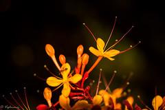 20160327-DSC_2349 (Vighnaraj Bhat) Tags: flower macro beautiful closeup nikon dof bokeh outdoor colorfull depthoffield d750 fullframe udupi 105mm primelens bokehlicious nikkor105mmf28gvr beyondbokeh