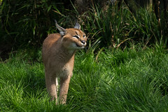 Griffin the Caracal (Linda Court) Tags: wild cats beautiful animal fur eyes feline soft fluffy whiskers wildanimal creature powerful vicious bigcats caracal wildlifeheritagefoundation