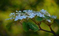 Beauty of spring. (L.Lahtinen (nature photography)) Tags: blossoms flowers spring dof bokeh beauty nature plant shrub nikond3200 nikkor 55300mm kevät kevätkukat kukinta luonto kasvit flora light pensas finland suomi europe