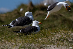 Lesser black-backed gull, Heringsmwe, Larus fuscus @ Helgoland, Heligoland in April 2016 (Jan Rillich) Tags: sea sun nature beautiful beauty animal fauna digital canon photography eos photo spring flora foto fotografie image jan wildlife seagull picture free sunny insel breeding april northern nordsee sandstein mwen dne nesting frhling helgoland 2016 laridae animalphotography lesserblackbackedgull larusfuscus buntsandstein heligoland hochseeinsel heringsmwe janrillich rillich