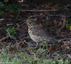 Shy thrush (Katy Wrathall) Tags: england bird spring eastyorkshire eastriding maygarden