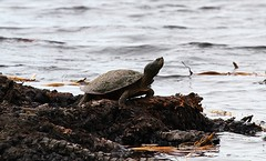 Northern Map Turtle (Point Pelee) (praja38) Tags: life park wild sun feet nature water spring pond turtle reptile wildlife caps shell cap marsh wetland capricorn basking pointpeleenationalpark northernmapturtle