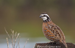 Northern Bobwhite (Colinus virginianus) NOBO - Resting in Peace...
