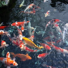 Carpes (kamillel) Tags: fish japan tokyo koi carps asakusa