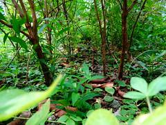 (sudiptopl) Tags: life road trees india plant green nature earth path strenght baruipur
