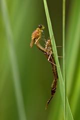 metamorphose (judith.kuhn) Tags: nature animal insect outdoor natur libelle insekt damselfly schlpfen hatching metamorphose exuviae coenagrion exuvie kleinlibelle fluginsekt azurjungfer eurasianbluet
