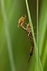 metamorphose (judith.kuhn) Tags: nature animal insect outdoor natur libelle insekt damselfly schlüpfen hatching metamorphose exuviae coenagrion exuvie kleinlibelle fluginsekt azurjungfer eurasianbluet