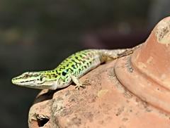 LOOK. (alessandraccurcio) Tags: black green canon photo eyes flickr lizard omg lucertola