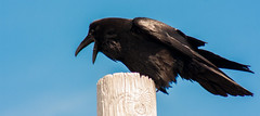 Red Cliff Radar Station - Raven (Smith D) Tags: old trip vacation black bird birds newfoundland ruins may stjohns raven radar avian 2016 redcliff may24weekend longweekend atlanticprovinces newfoundlandandlabrador redcliffradarbase