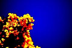 Gorse (NikWatt) Tags: macro lens edinburgh live handheld 105mm a580 nikwatt braidspolarizedsunnybluesigma edinburghphotographerssigma lenssigmasonysony a580windows photogreatscotsgreatcolorscotlandthe lenssigmasony greatscotsgreatcolorsscotland