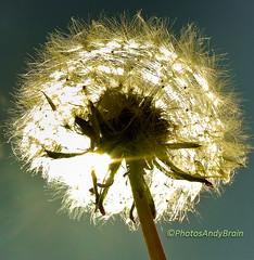 Dandelion - Illuminated by the Sun (PhotosAndyBrain) Tags: light sky sun nature solar stem photographer head stones wildlife orchard dandelion seeds backlit breeze flares illuminate optic fibre croxleygreen wd3 andybrain photosandybrain
