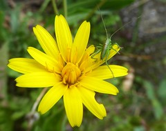 cricket (fotomie2009) Tags: cricket bush insecta insect insetto yellow wild nature flower spontaneous