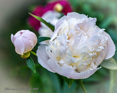 White peony. (Dariusz A. - Poland) Tags: white plant flower garden 50mm nikon bright blossom outdoor pastel g peony serene nikkor f18 afs swm d7100