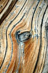 Bristlecone Pine (photographyguy) Tags: tree colorado knot woodgrain mtevans bristleconepine