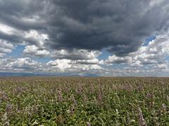 environnement (laurent gayte) Tags: plateau provence nuage champ valensole sauge hauteprovence laurentgayte