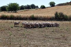 Tosate, affamate e curiose - Villamar (Franco Serreli) Tags: sardegna sardinia campagna pecore marmilla pascolo gregge tosatura villamar campagnasarda