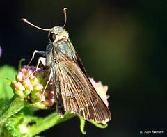 DSC_0741 (rachidH) Tags: flowers nepal lake nature blossoms butterflies insects blooms lantana pokhara fewa phewa papillons skipperbutterfly chestnutbob lambrixsalsala rachidh