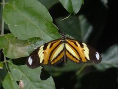 DSC04665 (familiapratta) Tags: nature insect iso100 sony natureza insects inseto insetos hx100v dschx100v