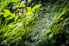 Small but has a Strong Foundation (GlennPope) Tags: tree nature rock closeup austin outside outdoors us moss texas unitedstates depthoffield mckinneyfallsstatepark