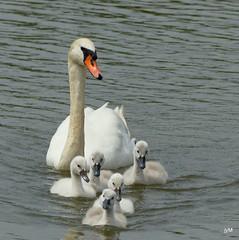 Mute  swan , Cygne  tuberculé , Cygne olor  et toute la petite  famille ... (jymandu) Tags: