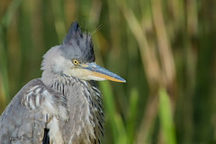 Grey Heron (parry101) Tags: heron wales forest grey farm south cardiff whitchurch herons