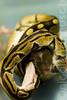 Nom nom nom (Nicole Hannusch) Tags: rat snake python ballpython snakeeating