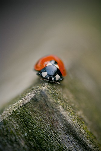 Another ladybird