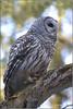 "Barred Owl (201201206-1719) (Earl Reinink) Tags: travel ontario canada bird art nature birds photography landscapes nikon flickr canadian niagara raptor owl earl bif ""lake ""bird ""nikon ""niagara photography"" ""birds ""nature ontario"" ""landscape ""fine ""earl peninsula"" flight"" owl"" lenses"" ""travel erie"" d3"" ""barred d3s"" reinink"""