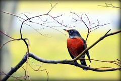 Sure sign of Spring - Robin - Bird (blmiers2) Tags: red white bird nature robin birds yellow spring nikon american americanrobin 2012 d3100 blm18 blmiers2