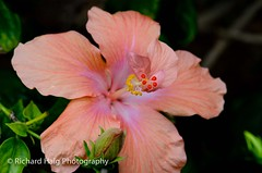 Happy Birthday Nancy ! (RichHaig) Tags: florida hibiscus fl orangehibiscus nikond7000 nikonnikkor105mmf28ged