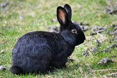 rabbit (Ms.FabiHenne) Tags: rabbit easter wiese gras ostern bltter hase