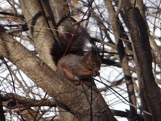 Eichhörnchen, NGID1675450242