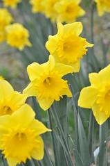 Daffodil (Keo6) Tags: daffodil