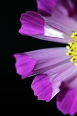 Flower in the Dark (♥ Spice (^_^)) Tags: plant black flower color colour macro art nature japan canon dark geotagged photography eos photo october asia flickr purple hole image bokeh picture violet blogger petal livejournal 日本 5d 花 自然 cosmos 植物 facebook takagi 写真 紫 穴 2011 naganoken 長野県 黒 twitter コスモス tumblr 花弁 キャノン 喬木 マクロ olétusfotos ダーク markⅱ ボケ カラー gettyimagesjapan12q1