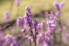 Flower, baby (Birgit F) Tags: norway bokeh 2012 grimstad austagder hbw dmmesmoen bokehwednesday ibsensherbalgarden