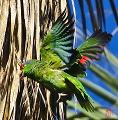 Red-lored Parrot (Amac Violins) Tags: parrot redlored