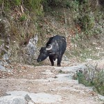 "Yak on the Path <a style=""margin-left:10px; font-size:0.8em;"" href=""http://www.flickr.com/photos/14315427@N00/6840137730/"" target=""_blank"">@flickr</a>"
