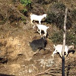 "Mountain Goats <a style=""margin-left:10px; font-size:0.8em;"" href=""http://www.flickr.com/photos/14315427@N00/6842325286/"" target=""_blank"">@flickr</a>"