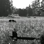 disappearing cows thumbnail