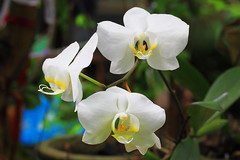 Orchid (Tukang Kebun) Tags: orchid flower nature canon garden flora malaysia taman taiping perak kamunting canoneos5dmarkii eos5dmarkii ef100mmf28lisusm