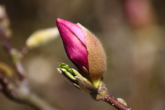 Magnolia (MEK40) Tags: pink trees brown flower color detail macro tree green nature colors canon germany garden landscape deutschland photography eos photo bush foto bokeh details hamburg natur rosa sigma bloom april magnolia bouquet 500 grn braun blume makro blatt landschaft farbe bume garten baum busch farben 2010 zweige magnolie 500d eos500 flickraward eos500d
