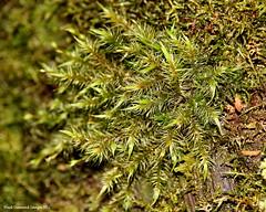 Dicranoloma billardieri (Black Diamond Images) Tags: moss australia nsw mossylog arfp barringtontopsnationalpark australianrainforestplants dicranaceae trfp vrfp nswrfp arfmoss cooltemperatearf dicranoloma honeysucklerestarea barringtontopsworldheritagenationalpark dicranolomabillardieri