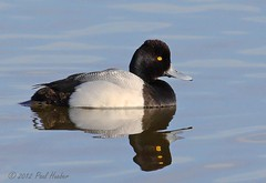 Lesser Scaup male (Aythya affinis) (Paul Hueber) Tags: