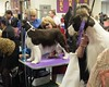 Westminster DOG SHOW_32