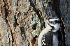 Downy Woodpecker (tvbare) Tags: bird nature rural canon rebel woodpecker missouri t3 downy bentoncounty missouribirds tvbare