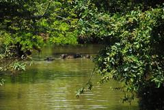 Sri Lanka , vache dans la rivière (pontfire) Tags: voyage road trip travel holiday water field forest river landscape countryside cow eau farm country rivière lanka srilanka ceylon paysage campagne ferme forêt srilankan champ vache traveler buffle ceylan indianocéan paysagedusrilanka landscapelanka océeanindien