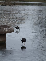 Pair of Coots (failing_angel) Tags: london rails coot regentspark fulicaatra cityofwestminster rallidae 140212