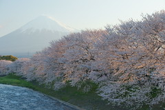 cherry blossoms and Mt.Fuji (peaceful-jp-scenery) Tags: morning cherry spring sony blossoms   tamron      a001 dslra900 spaf70200mmf28di  uruigawa ryugenbuchi